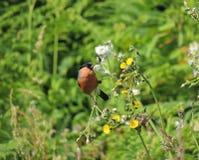 Bullfinch eating Groundsel seeds. Royalty Free Stock Photography