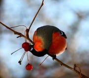 Bullfinch eating wild apples. Bullfinch sitting on tree branch eating frozen apples Royalty Free Stock Images