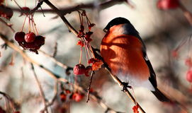 Bullfinch eating wild apples royalty free stock images