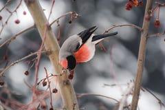 Bullfinch Stock Photos