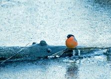 Bullfinch en el río encadenado del hielo Imagen de archivo