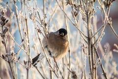 Bullfinch en la ramificación Imagenes de archivo