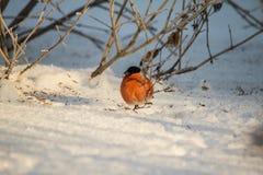 Bullfinch en la ramificación Fotos de archivo libres de regalías