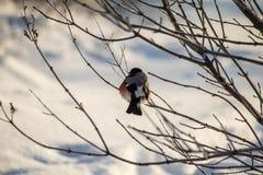 Bullfinch en la ramificación Imagen de archivo
