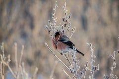 Bullfinch en la ramificación Fotos de archivo