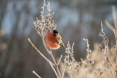 Bullfinch en la ramificación Imágenes de archivo libres de regalías