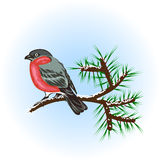 Bullfinch en la ramificación del pino Fotografía de archivo libre de regalías