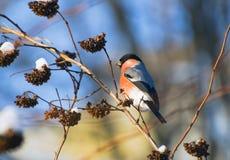 Bullfinch en ramificaciones nevosas de arbustos Fotografía de archivo libre de regalías