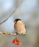 Bullfinch eurasiático (pyrrhula del Pyrrhula) Foto de archivo
