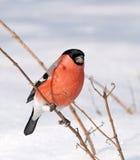 Bullfinch eurasiático (pyrrhula del Pyrrhula) Fotos de archivo libres de regalías