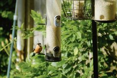 Bullfinch on feeders. The very attractive bullfinch or Pyrrhula pyrrhula on some garden bird feeders Stock Photo