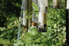 Bullfinch on feeders. The very attractive bullfinch or Pyrrhula pyrrhula on some garden bird feeders Stock Image