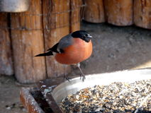 Bullfinch at the feeding trough. Cute bullfinch stays on the feeding trough Stock Image