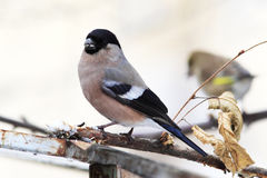 Bullfinch female Royalty Free Stock Images
