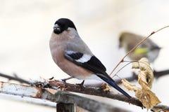 Bullfinch female Royalty Free Stock Images