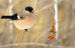 Bullfinch female is eating plant seeds on the bush outdoor Royalty Free Stock Photos