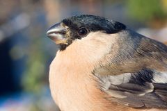 Bullfinch, female / Pyrrhula pyrrhula Royalty Free Stock Photography