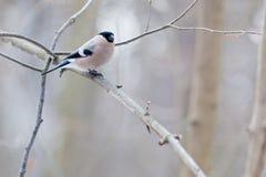 Bullfinch, female (Pyrrhula pyrrhula) Stock Image