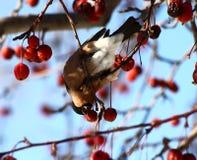 Bullfinch. Female Bullfinch sitting on tree branch eating frozen wild apples Royalty Free Stock Photos