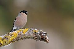 Bullfinch femelle sur le branchement moussu dans l'hiver Photographie stock libre de droits