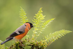 Bullfinch and ferns Royalty Free Stock Photos