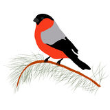 Bullfinch on the fir branch. Winter or christmas vector illustration Stock Images
