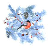 Bullfinch and fir tree branches. Hand drawn with watercolor Royalty Free Stock Photos