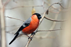 Bullfinch in forest Stock Image