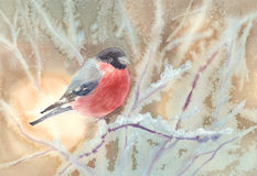 Bullfinch on frosty branches Stock Photo