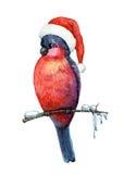 Bullfinch Royalty Free Stock Image