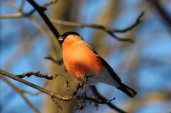 Bullfinch. Stock Images