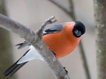 Bullfinch im Winter Lizenzfreies Stockfoto