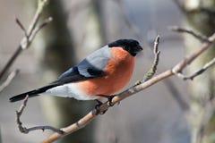 Bullfinch im Winter Lizenzfreie Stockbilder