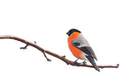 Bullfinch isolated Stock Photography