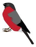 Bullfinch Royalty Free Stock Images