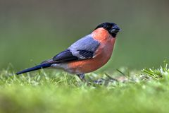 Bullfinch in lawn Royalty Free Stock Photography