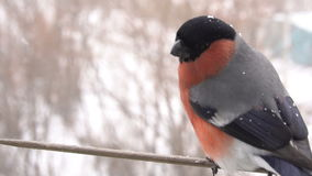 Bullfinch male bird. Feeding. Slow motion stock video