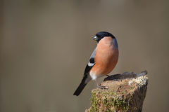 Bullfinch, male Stock Images