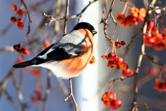 Bullfinch. Male Bullfinch sitting on tree branch eating frozen wild apples Royalty Free Stock Photography
