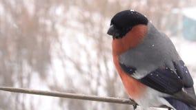 Bullfinch-Mannesvogel stock video