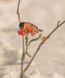 Bullfinch masculino que alimenta em bagas Fotografia de Stock Royalty Free