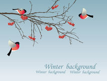 Bullfinch na filial. Fotos de Stock Royalty Free