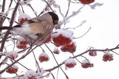 Bullfinch pecks berries of the frozen red mountain ash