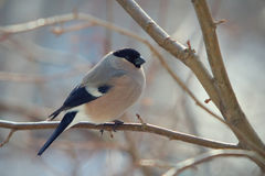 Bullfinch perched on a branch Stock Images