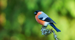 Bullfinch perched on a branch Stock Photos