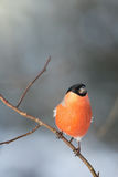 Bullfinch perched on a branch Royalty Free Stock Photography