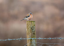 Bullfinch perched on fence Royalty Free Stock Photos