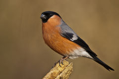 Bullfinch. Posing on a perch stock photography