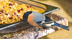 Bullfinch (Pyrrhula) Stock Images