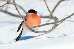 bullfinch pyrrhula Στοκ Εικόνες